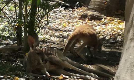 Supervisan salud del canguro que se escapó del Ecoparc