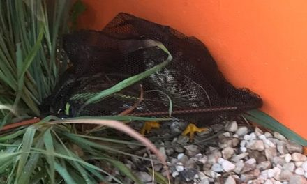 Protección Civil captura un halcón herido