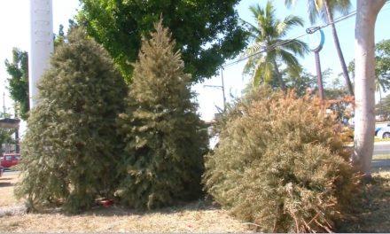 Habrá 4 centros de acopio de árboles navideños, en la Ciudad de Colima