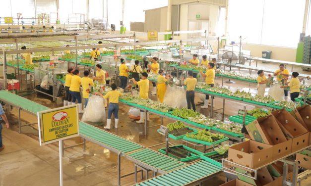 Gobernador visita Planta de Plátano Orgánico que exporta a Japón