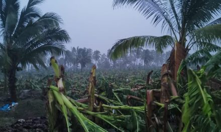 Se calcula que 50% de las plantaciones de plátano, no tienen ningún tipo de seguro: Hueso