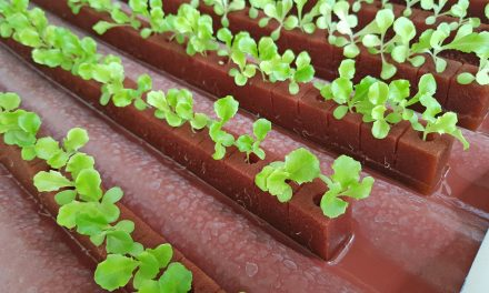 Adaptan cultivo de lechuga italiana y Boston a condiciones climáticas de Tecomán