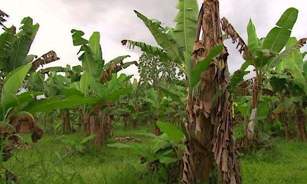 Previene experto de Costa Rica sobre hongo que podría afectar las plantas de banano del país